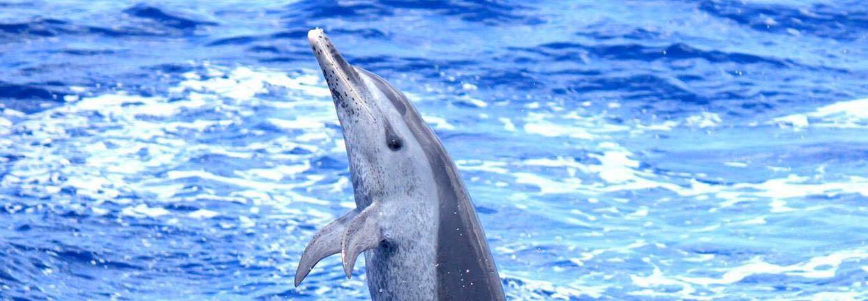 sortie dauphins en catamaran Martinique